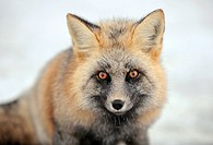 USA, Washington State, Mt. Rainier, Red fox Vulpes vulpes in winter