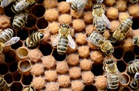 Honey bees (Apis mellifera), worker bees on capped drone brood cells