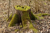 Tree stump in natural forest, Lower Saxony, Liebenburg, Germany