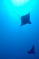 Ecuador, Galapagos Islands, Wolf Island, Swimming Spotted Eagle rays, underwater view
