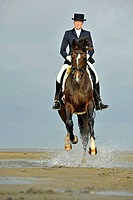 Dressage rider in correct dress galloping on a Hanoverian Horse over tidal mudflats