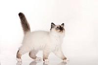 Sacred Birman, walking. Studio picture against a white background
