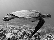 Green sea turtle Chelonia mydas underwater