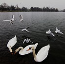 Photos of Swans taken in Hyde Park London