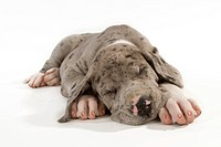 Great Dane. Puppy sleeping. Studio picture against a white background
