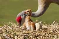 Sandhill crane Grus canadensis with its young one at a nest