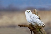 Snowy owl Bubo scandiacus perching on a dead tree stump
