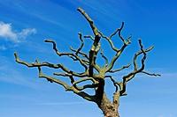 Heavily pruned tree