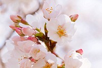 Close up of cherry blossoms, spring in Japa