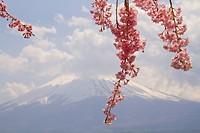 Cherry blossom and Mt Fuji, spring in Japan