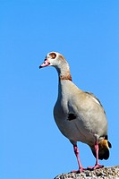 South Africa , Western Cape province , Betty´s Bay , Stony Point , Egyptian Goose Alopochen aegyptiacus.