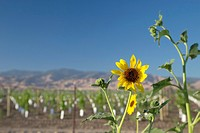 Maricopa, California - Sunflowers beside a vineyard in the San Joaquin Valley