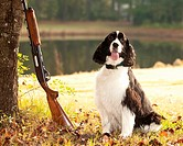 spaniel hunting dog posing with shotgun