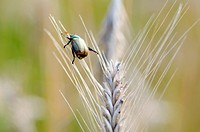 Beetle on the wheat