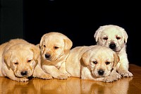 Yellow Labrador Retriever Dog, Pups against Black Background