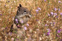 A Belding´s ground squirrel munches on flowers in a meadow in Yosemite