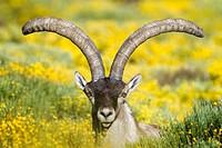 Old male of wild goat Capra pyrenaica in Sierra de Gredos Regional Park, Ávila  Castilla y León, Spain