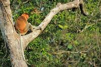 Proboscis Monkey Nasalis larvatus, Tanjung Puting National Park, Province Kalimantan, Borneo, Indonesia