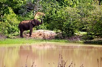 Wild Asian Elephant (Elephas maximus) throwing sand onto body after a swim in the lake, Yala National Park, Sri Lanka, Asia