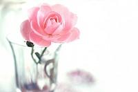 Fresh Rose In Glass