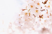 Close_Up View Of Cherry Blossoms