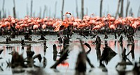Great Flamingo Phoenicopterus ruber