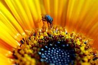 honeybee on yellow daisy flower