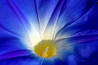 Blue Morning Glory Ipomea Flower