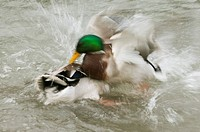 Mallard Duck Anas platyrhynchos two adult males, fighting on water, blurred movement, Arundel Wildfowl and Wetlands Trust Reserve, West Sussex, Englan...