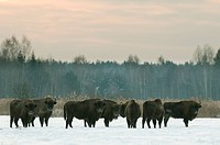 European Bison Bison bonasus herd, standing in snow covered field at sunrise, Bialowieza N P , Podlaskie Voivodeship, Poland, february
