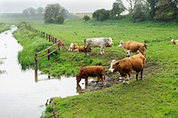 Domestic Cattle, beef herd, on riverbank in grazing meadows, River Stiffkey, Norfolk, England, may