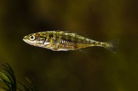 Three_spined Stickleback Gasterosteus aculeatus adult male, just beginning to develop breeding colouration with faint flush of pink under chin, Wat Ty...