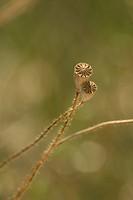 Papaver rhoeas, Poppy