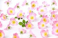 Rosa rubiginosa, Rose