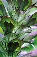 Acanthus mollis, Bear´s breeches