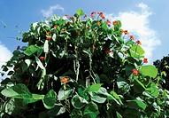 Brassica oleracea acephala, French bean