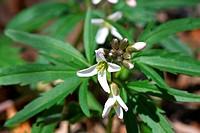 Cutleaf Toothwort Flower
