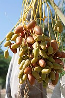 Close Up Of Dates On Tree, Palm Springs California United States Of America