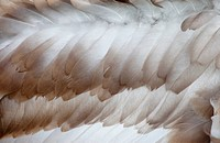 Swan Feathers, Northumberland England