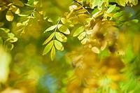 Wisteria foliage in autumn