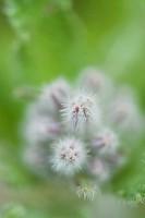 Borage flower buds