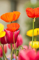 Poppies and tulips in bloom