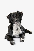 Border collie on a white background, st. albert alberta canada