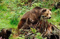 Eurasian brown bears Ursus arctos arctos, mother with youngs