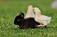 Young rabbit and chicks in grass