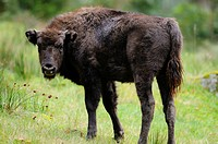 Young Wisent Bison bonasus on a meadow