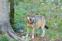 Eurasian Wolf Canis lupus lupus standing