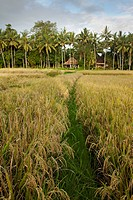 Rice fields near ubud, bali indonesia