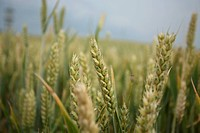 Triticum, Wheat