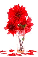 Red dahlias in vase with water isolated